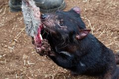 Sarcophilus harrisii - Tasmanian Devil in the night and day in Australia royalty free stock image