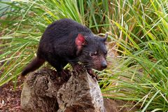Sarcophilus harrisii - Tasmanian Devil in the night and day. In Australia royalty free stock photos