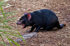Sarcophilus harrisii - Tasmanian Devil in the night and day stock image