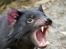 Sarcophilus harrisii- Tasmanian Devil. Tasmanian devil opens his mouth. Tasmania, Australia stock images