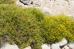 Sarcopoterium spinosum and Genista royalty free stock photos