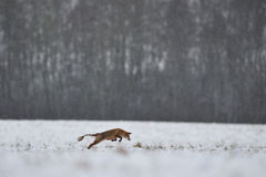 Sarcoptic Mange in volpe rossa Fotografia Stock Libera da Diritti