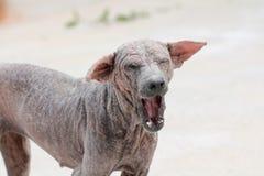 Sarcoptic skabb för thailändsk hund Royaltyfria Foton