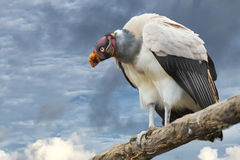 Sarcoramphus papa on cloudy sky background Stock Images