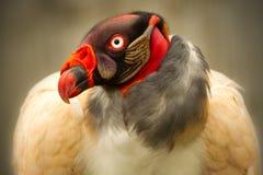 Sarcoramphus Papa King Vulture Stock Images
