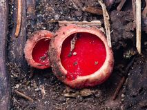 Sarcoscypha coccinea, Peziza scarlet elf cup small mushrooms on ground macro, selective focus, shallow DOF Royalty Free Stock Photos