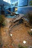 Sarcosuchus kościec przy Children muzeum Indianapolis Obrazy Stock