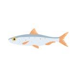 Sardina fish vector isolated illustration. Cartoon fresh  flat drawing. Flounder fish vector isolated illustration. Cartoon fresh Flouder flat drawing. isolated Stock Images