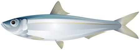 Sardina, illustrazione realistica di vettore della sardina europea Fotografie Stock