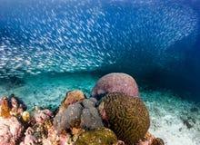 Sardinas en un arrecife de coral Imágenes de archivo libres de regalías