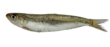 Sardine Royalty Free Stock Photos