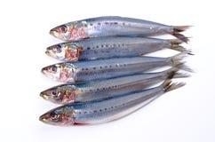 Sardine Lizenzfreies Stockbild