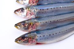 Sardine Stockfotos