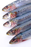 Sardine. Cooking ingredient series    sardine. for adv etc. of restaurant,grocery,and others Royalty Free Stock Photography