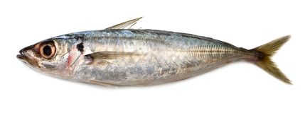 Sardine. Popular fish eaten all over the world Stock Photo