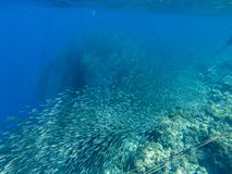 Sardine carousel and coral reef in open sea water. Massive fish school underwater photo. Pelagic fish school royalty free stock photos