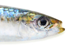 Sardine with clipping path Stock Images