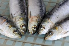 Sardine crude fresche per la griglia Immagini Stock
