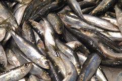 Sardine fresche Immagine Stock