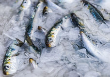 Sardine in the ice. Many pilchard in the ice Stock Photography