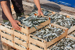 Sardine mediterranee Immagine Stock