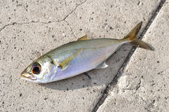 Sardine over asphalt Royalty Free Stock Images