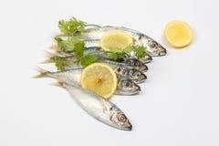 Sardine pilchard herring Fish. Raw fresh on white background Stock Image