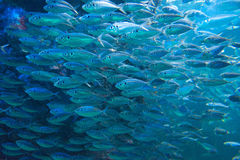 Sardine run. Countless sardine run in the blue ocean stock images