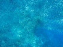 Sardine shoal carousel in open sea water. Massive fish school underwater photo. Pelagic fish school swimming. In seawater. Saltwater mackerel shoal. Oceanic stock photo