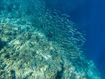 Sardine shoal and coral reef in open sea water. Massive fish school underwater photo. Pelagic fish school swimming stock images