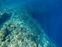 Sardine shoal and coral reef wall in open sea water. Massive fish school underwater photo. Pelagic fish school swimming. In seawater. Saltwater mackerel shoal stock photo