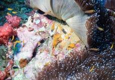 Sardine shoal Stock Photography