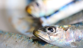 Sardine in soft focus Stock Image