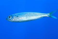 Sardine von Madeira Stockbild