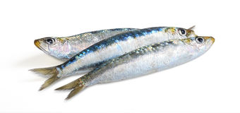Sardine on white background Royalty Free Stock Photography