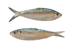 Sardinella or Clupeidae fish isolated on white background. Stock Images