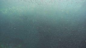 Sardinen auf blauem Wasser stock video footage