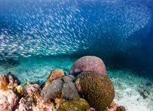 Sardiner på en korallrev Royaltyfria Bilder