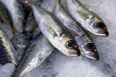 Sardines. Fresh caught sardines width salt over cool ice bed Stock Images