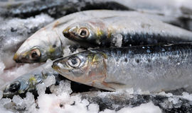 Sardines. On ice Stock Image