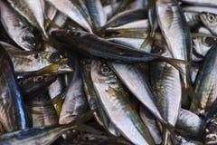 Sardines Royalty-vrije Stock Foto