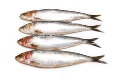 Sardines Royalty Free Stock Image