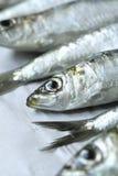 Sardines Stock Image