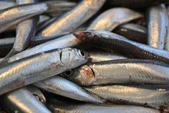 sardines Royaltyfri Bild