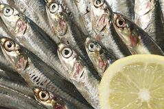 sardines Royaltyfri Fotografi