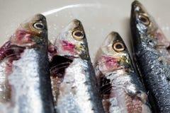 sardines stock fotografie