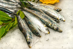 Sardines and Anchovies on ice. Royalty Free Stock Photography