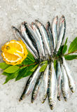 Sardines and Anchovies on ice. Stock Image