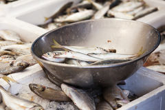 Sardines Royalty Free Stock Image