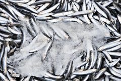 Sardines in box with ice Stock Photography